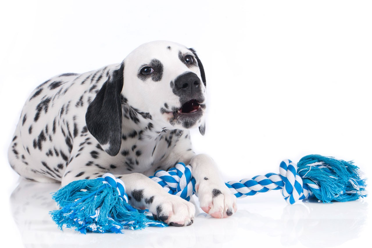 stock-photo-cute-dalmatian-puppy-with-dog-toy-isolated-408588469