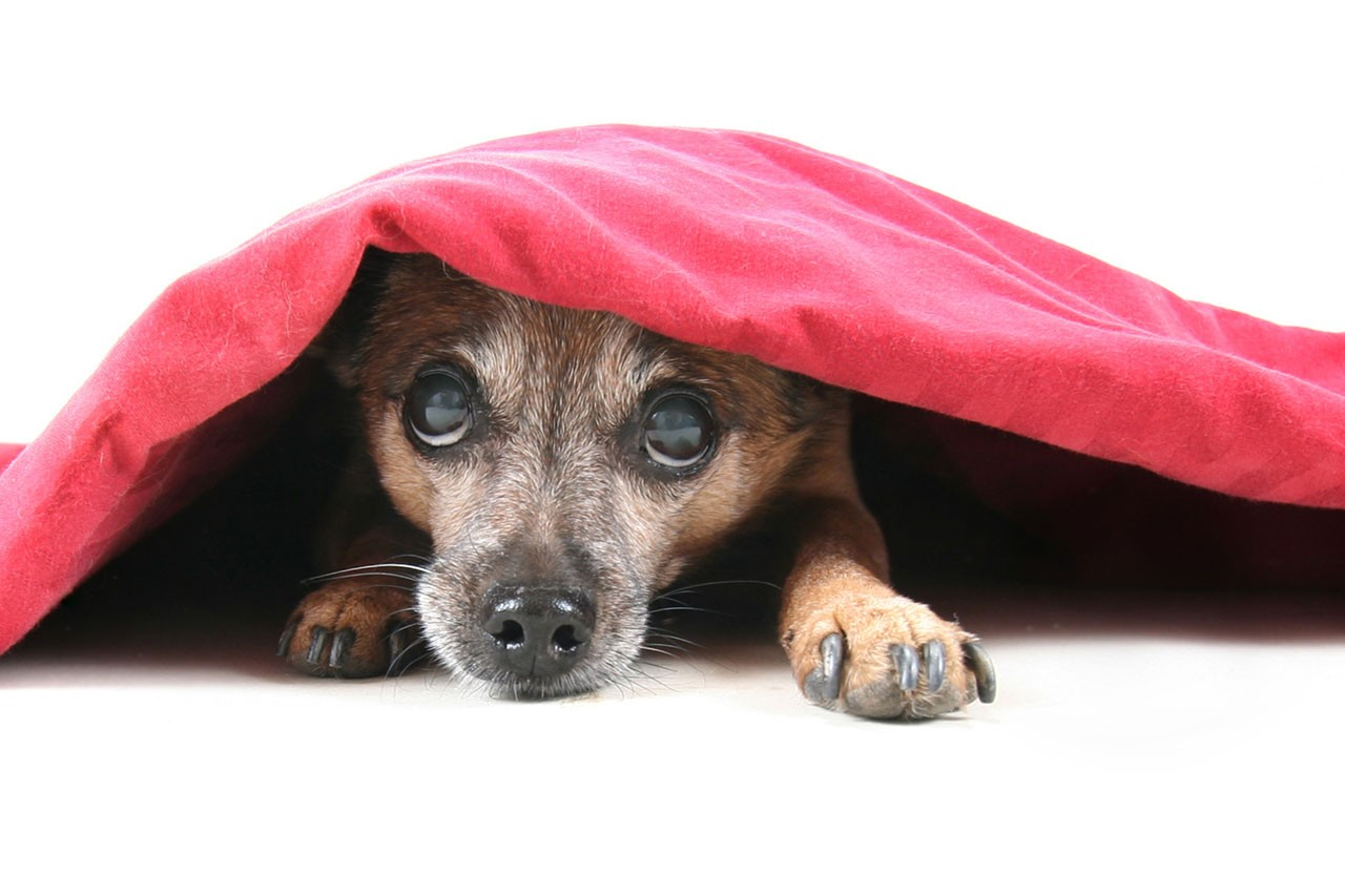 stock-photo-a-chihuahua-mix-dog-under-a-red-blanket-74924494